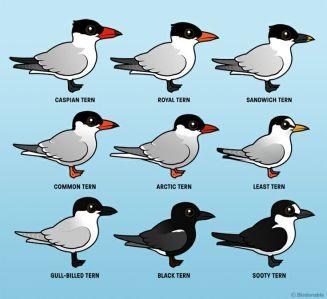 Terns!