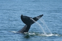 """Eyelashes"" the Humpback Whale 05/01/16 Monterey Bay"